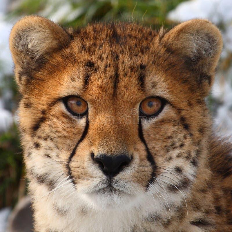 гепард стоковые изображения