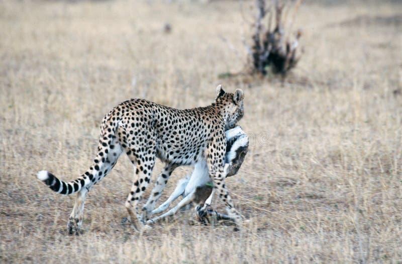 Download гепард стоковое фото. изображение насчитывающей кения, носить - 76152