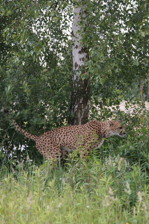 Гепард shitting в траве стоковое фото rf
