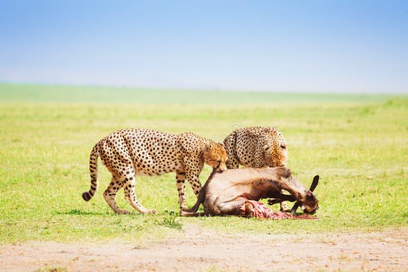 2 гепарда есть убийство на африканской саванне стоковые фото