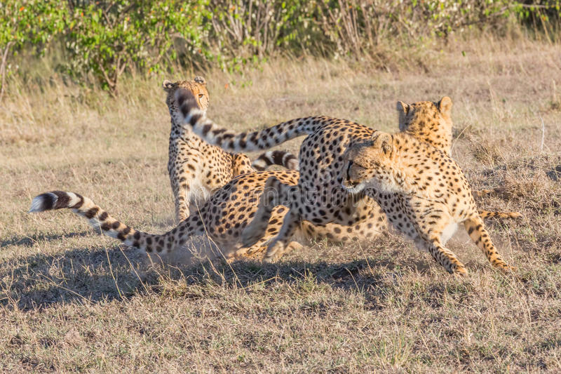 3 гепарда, оголтелое движение, Masai Mara, Кения стоковая фотография rf