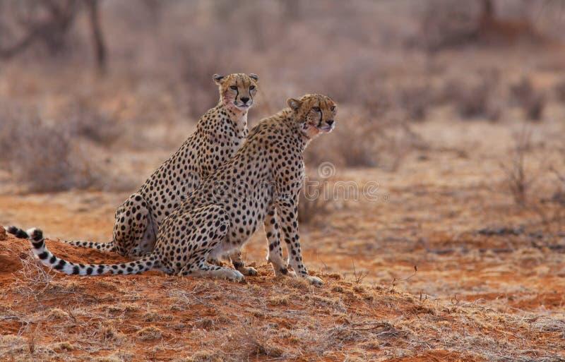 2 гепарда стоковая фотография rf