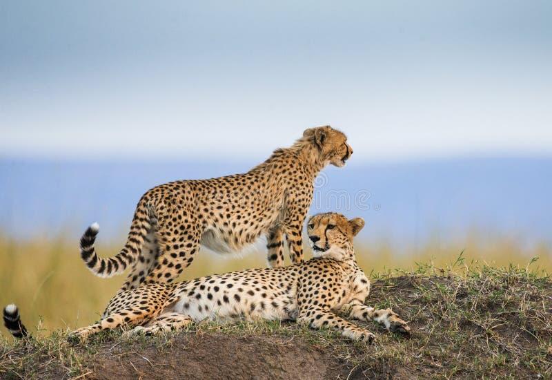 Гепард 2 в саванне Кения Танзания вышесказанного Национальный парк serengeti Maasai Mara стоковые изображения