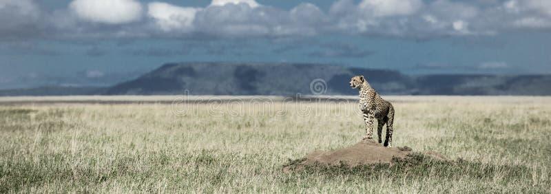 Гепард на насыпи наблюдая вокруг в национальном парке Serengeti стоковое фото rf