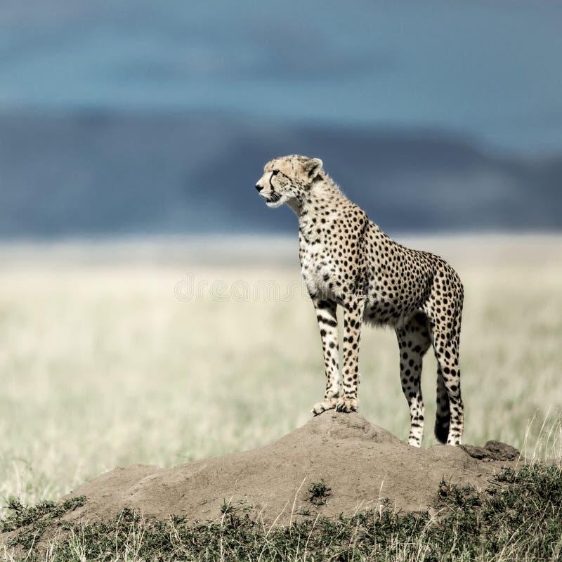 Гепард на насыпи наблюдая вокруг в национальном парке Serengeti стоковое фото