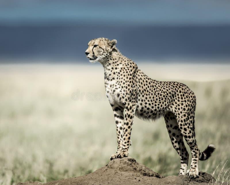 Гепард на насыпи наблюдая вокруг в национальном парке Serengeti стоковые фотографии rf