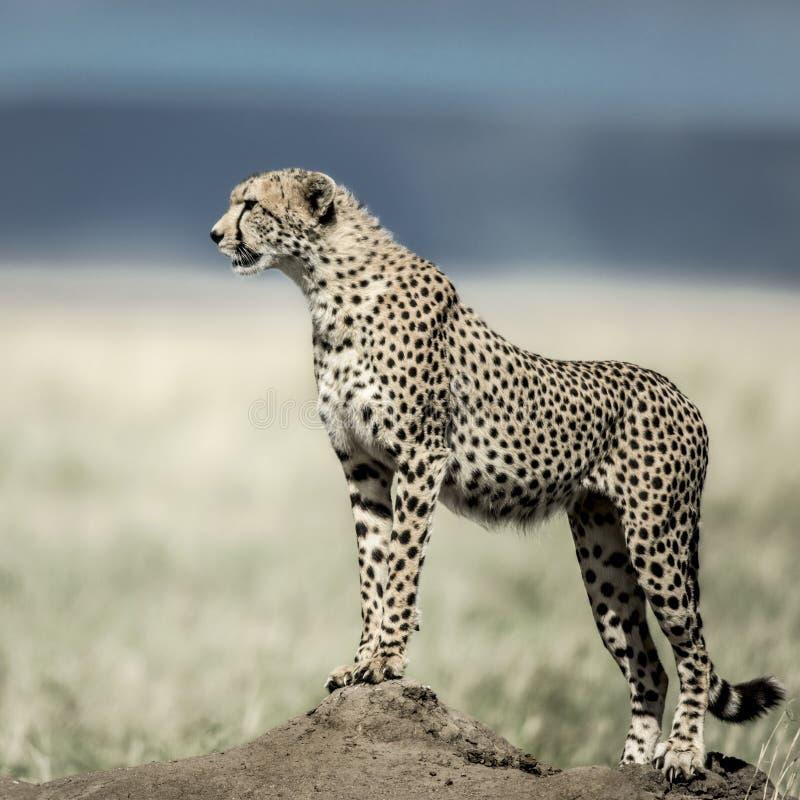 Гепард на насыпи наблюдая вокруг в национальном парке Serengeti стоковая фотография