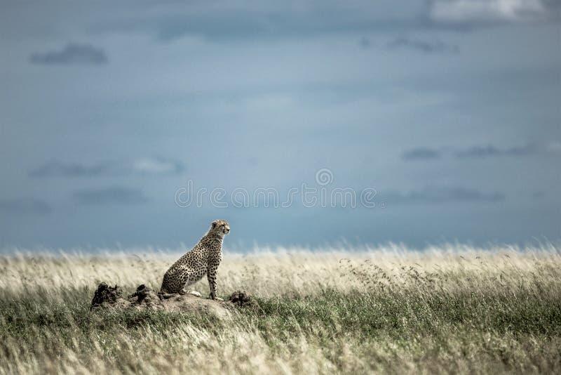 Гепард на насыпи наблюдая вокруг в национальном парке Serengeti стоковые изображения