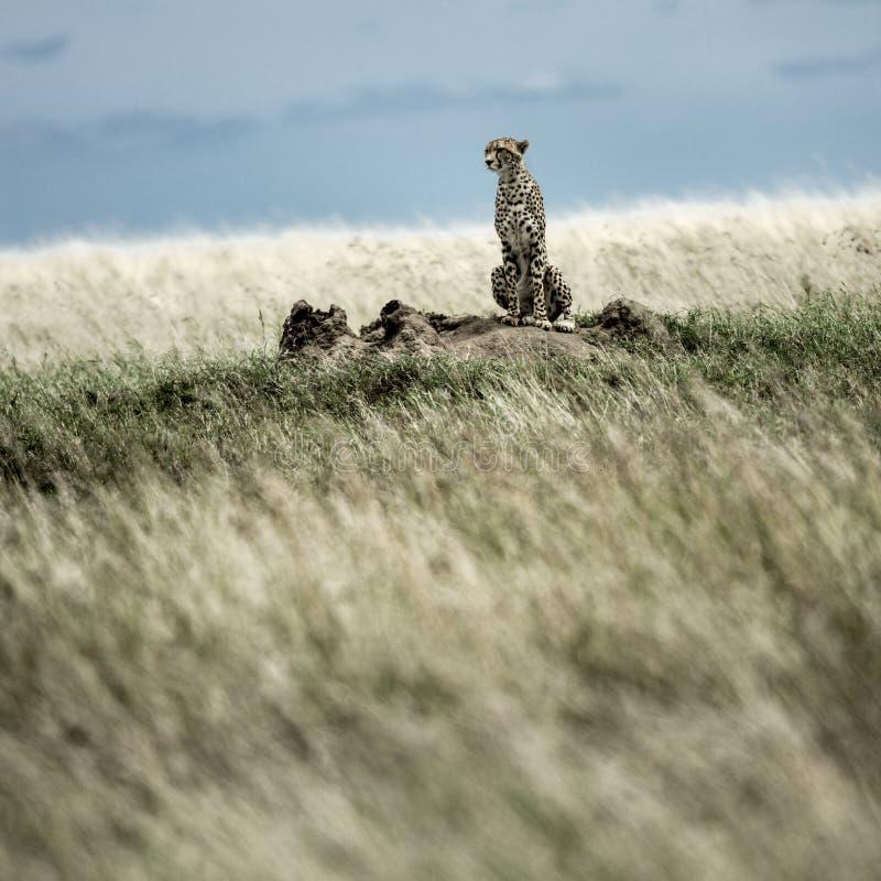 Гепард на насыпи наблюдая вокруг в Serengeti стоковое изображение rf