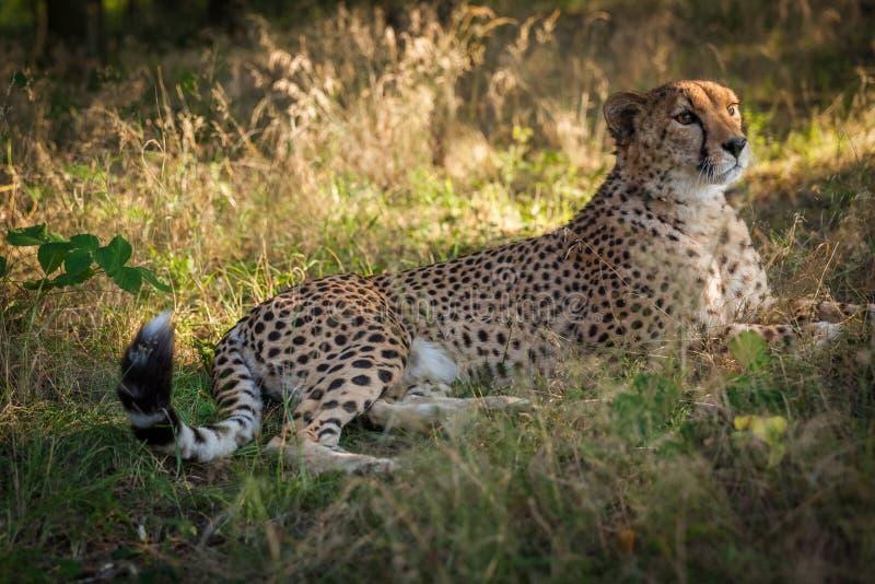 Гепард на прогулке в природе стоковая фотография rf