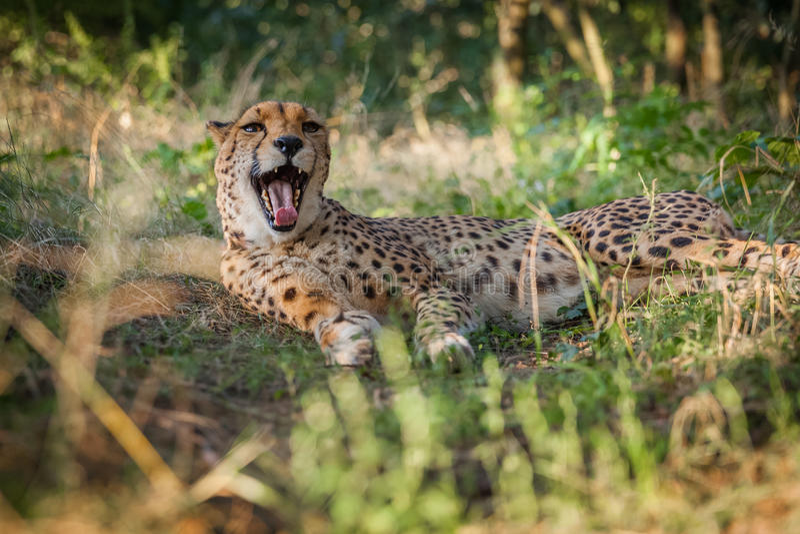 Гепард на прогулке в природе стоковое фото rf