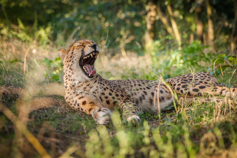 Гепард на прогулке в природе стоковые изображения rf