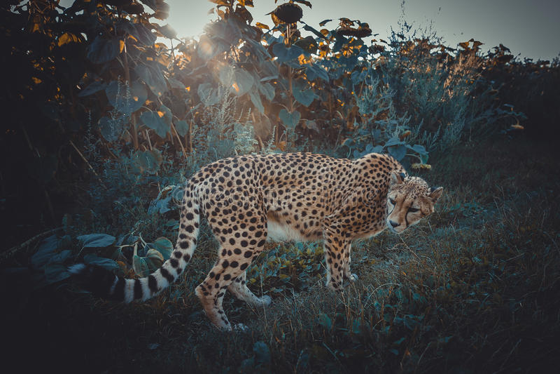 Гепард на прогулке в природе стоковое фото