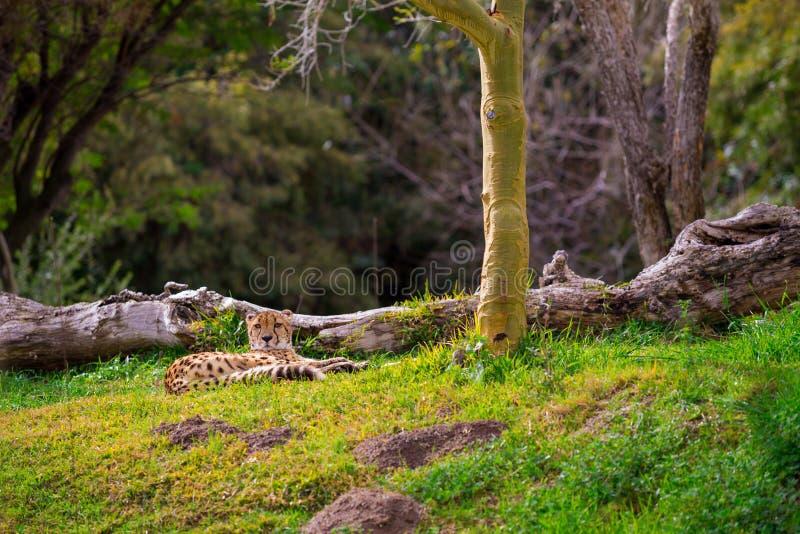 Гепард ослабляя на траве стоковое фото