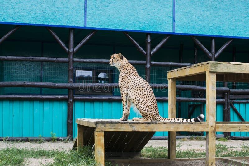 Гепард сидит стоковая фотография rf