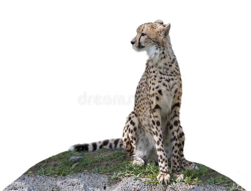 Гепард сидя на холме стоковые фотографии rf