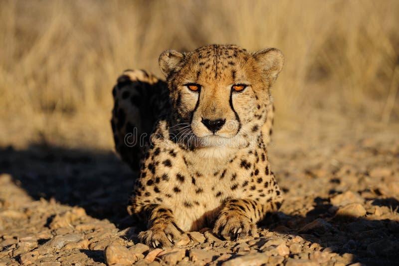 Гепард смотрит стоковое изображение rf