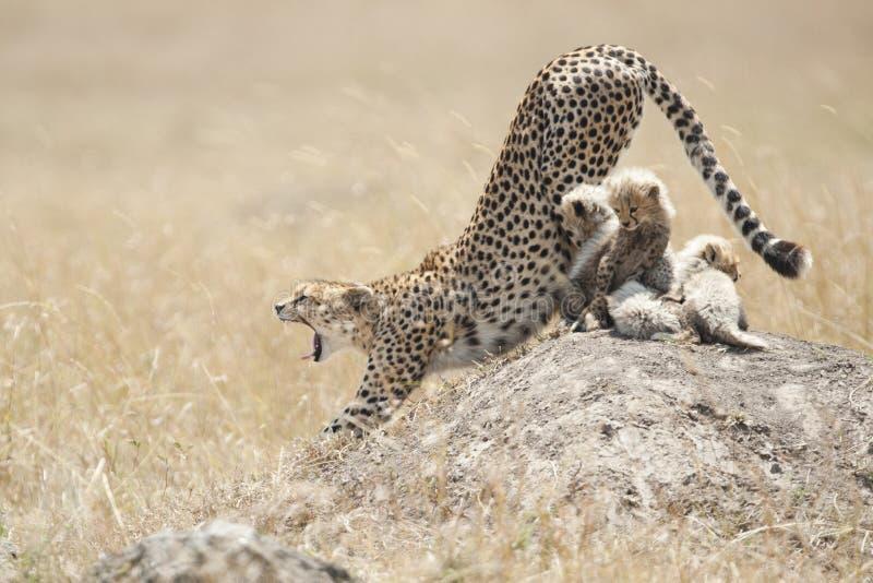 Гепард с новичками в Masai Mara, Кении стоковые фотографии rf