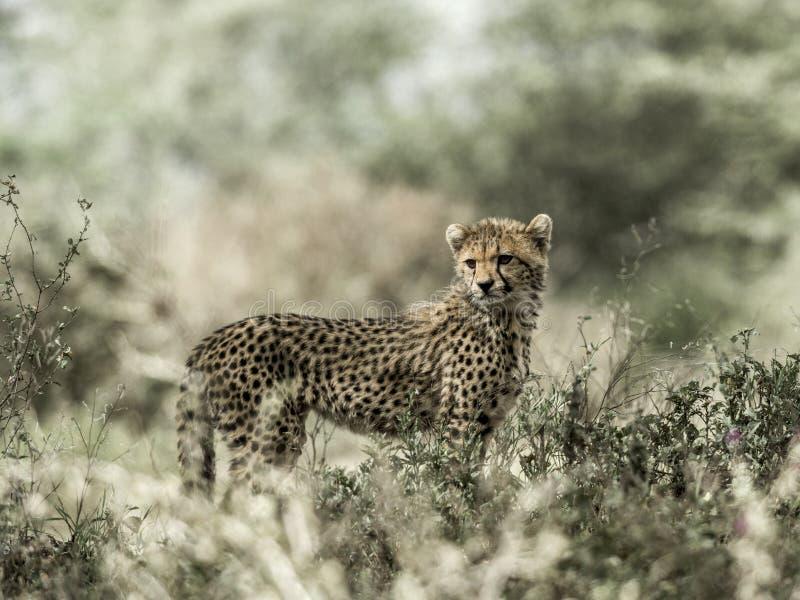 Гепард Cub в национальном парке Serengeti стоковые изображения