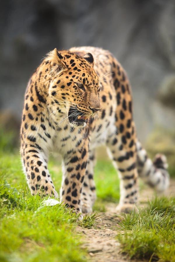 Гепард (jubatus Acinonyx) стоковые фото