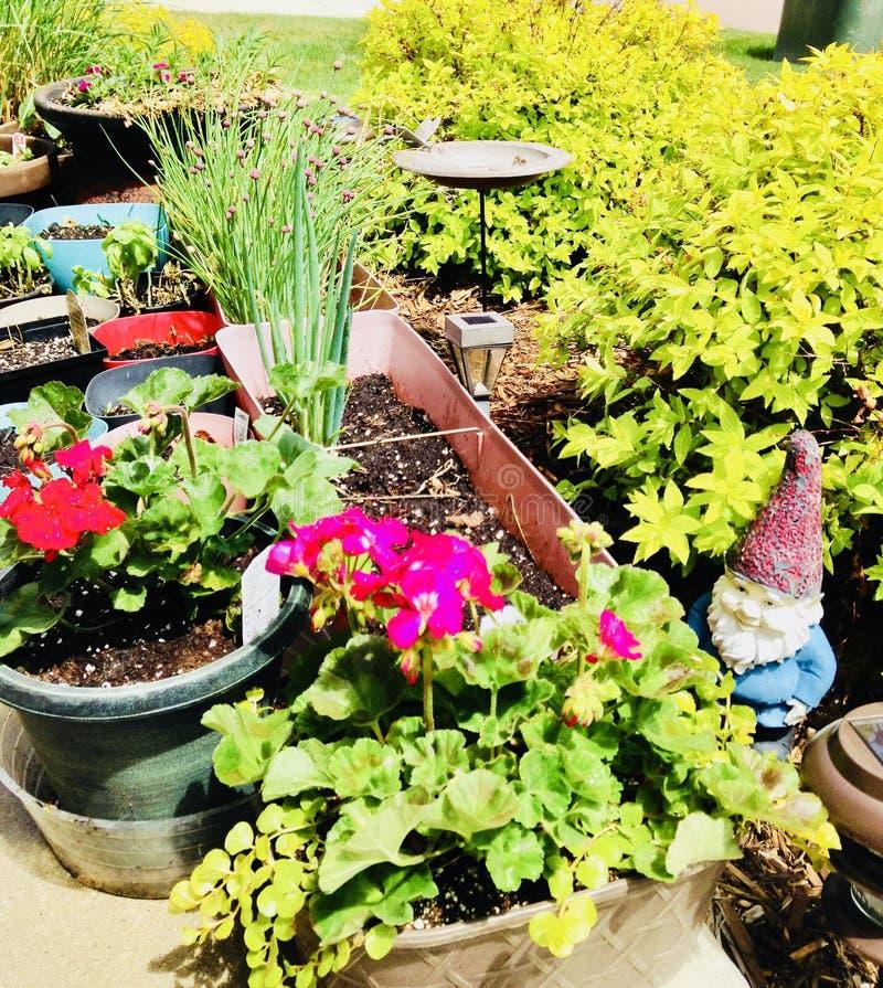 Гераниумы и гном сада стоковые изображения rf