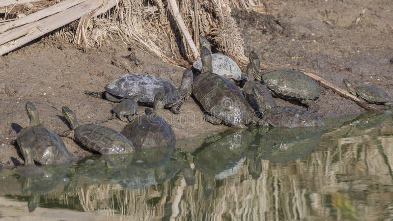 Герб европейской черепахи в озере Шор стоковые фото