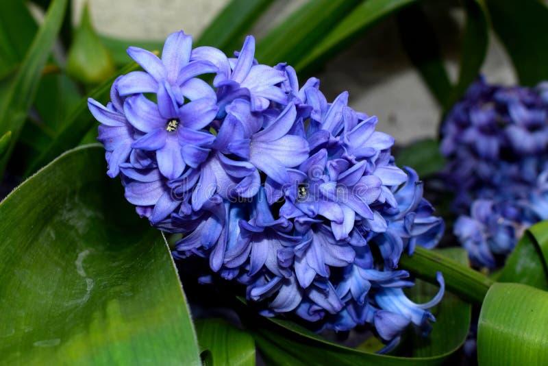 гиацинты пурпуровые стоковая фотография