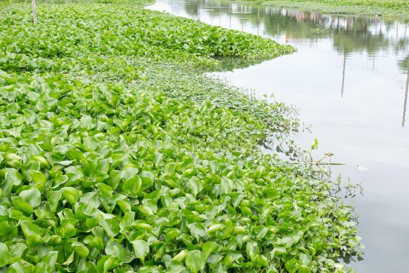 Гиацинт воды стоковая фотография