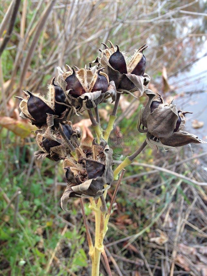 Гибискусы (розовый просвирник) засаживают с сухими семенами стоковое фото