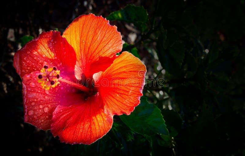 Гибискусы цветут расти в моем саде двора перед входом стоковое фото rf