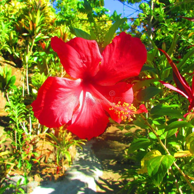 Гибискус в тропическом острове стоковая фотография