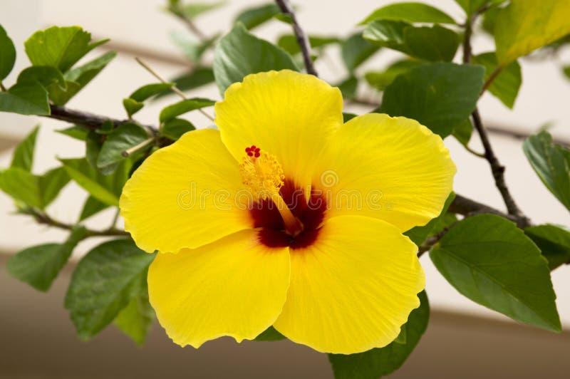 Гибискус Роза-sinensis, кустарник китайского гибискуса цветя, изумительный желтый цветок стоковые изображения
