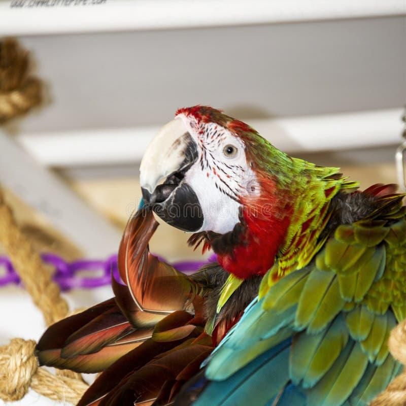 Гибридная ара стоковое фото