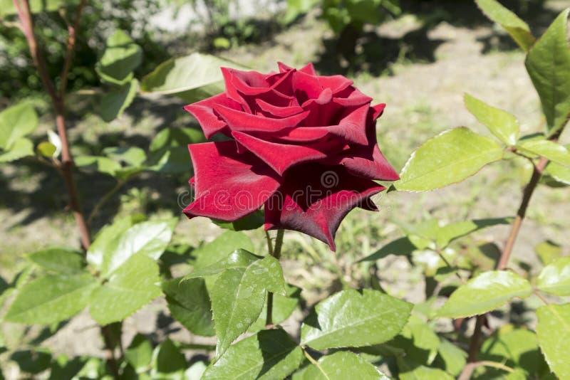 Гибридная темнота чая - цветок ` Norita ` красной розы стоковые фото