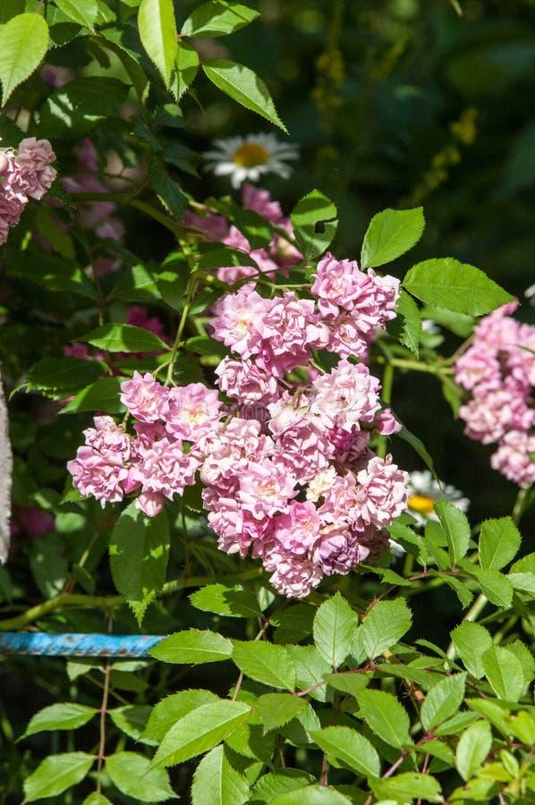Гибридные розы чая розовый чай стоковое фото rf