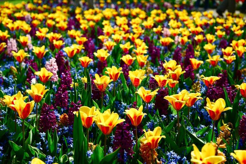 Гибридное поле тюльпана стоковые фото