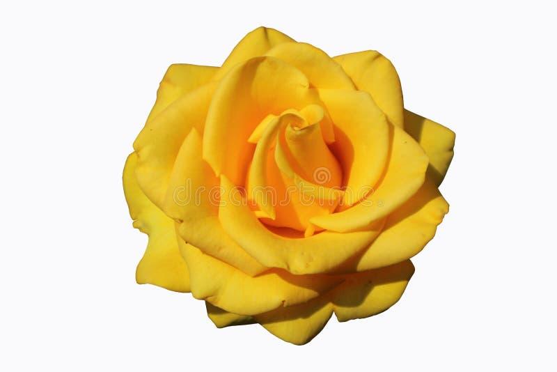 Гибридный цветок розы желтого цвета изолированный на белизне стоковая фотография