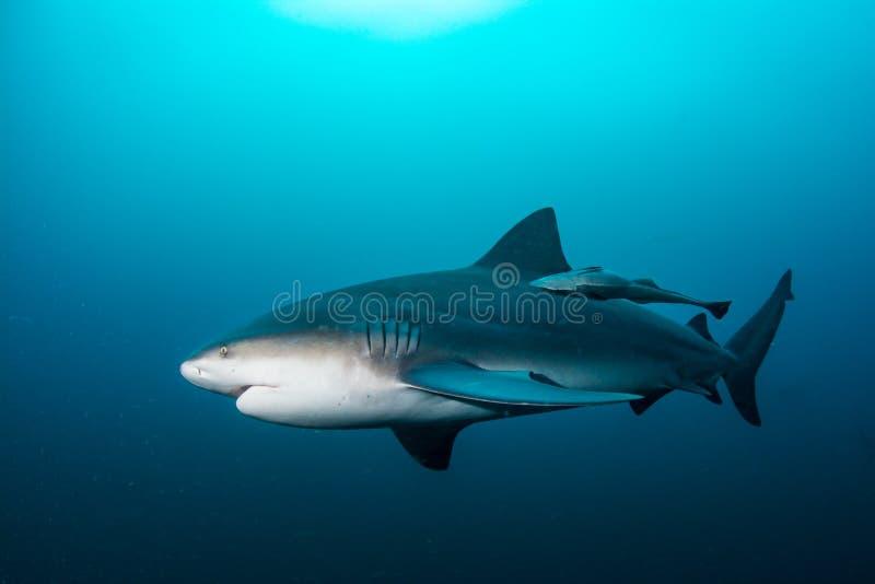 Гигантская акула быка стоковые изображения rf