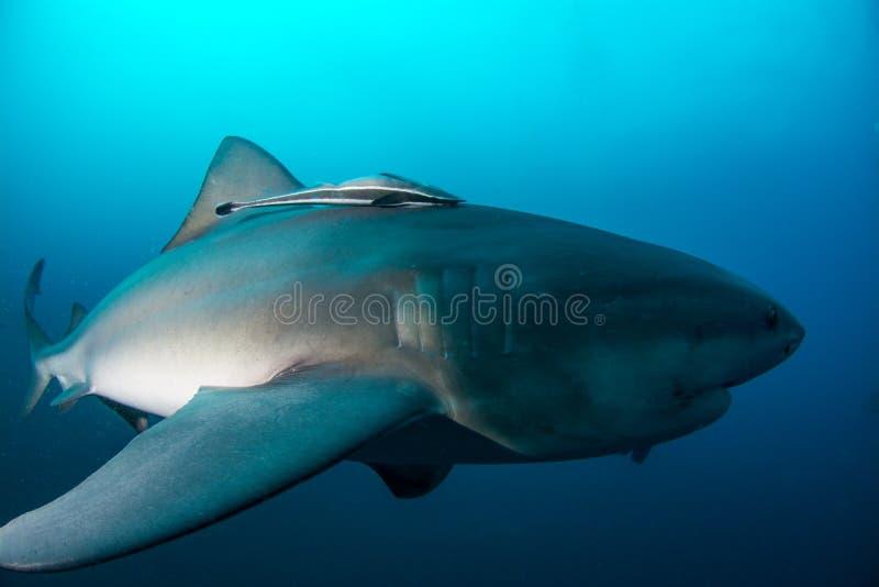 Гигантская акула быка стоковое фото