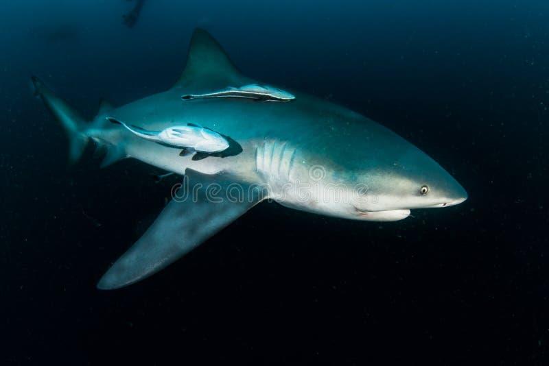 Гигантская акула быка стоковое фото rf
