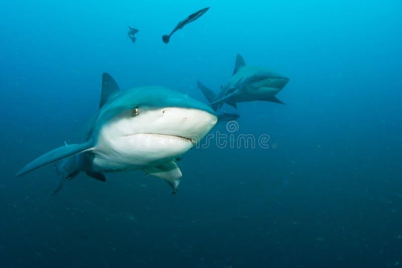 Гигантская акула быка стоковые фото