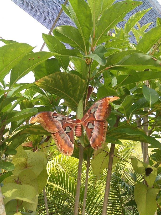 Гигантская бабочка стоковая фотография rf