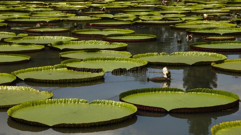 гигантская вода лилии стоковое изображение