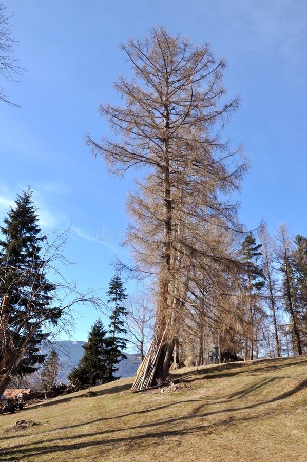 Download Гигантская ель стоковое изображение. изображение насчитывающей красивейшее - 37927159
