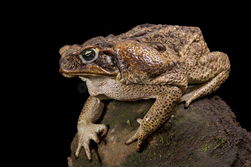 Гигантская жаба, Марина Rhinella стоковая фотография