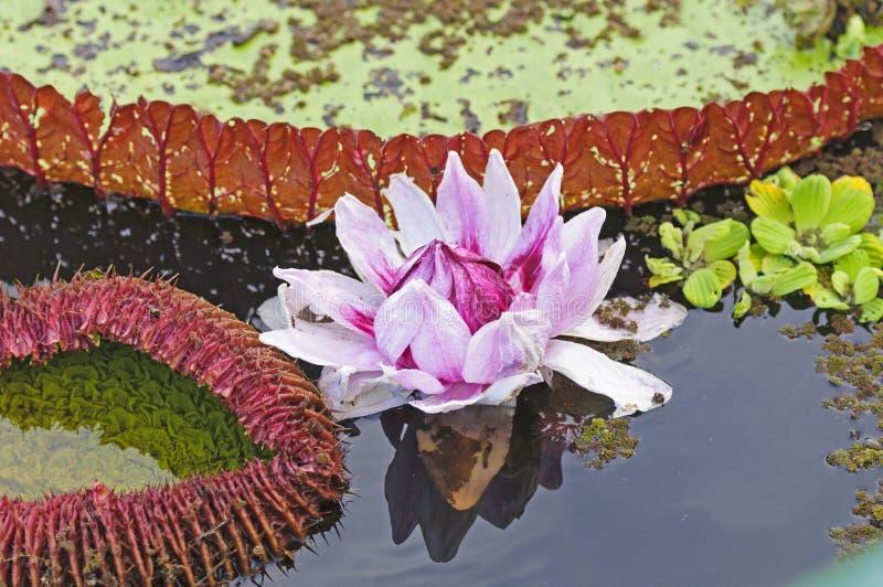 Гигантская лилия воды и своя пусковая площадка лилии стоковая фотография rf