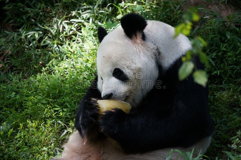 Гигантская панда есть еду некоторый плод в середине зеленого леса в зоопарке смитсоновск национальном Закройте вверх по взгляду с стоковое изображение