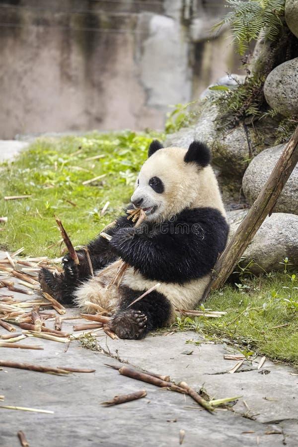 Гигантская панда ест бамбук, Чэнду, Китай стоковые изображения