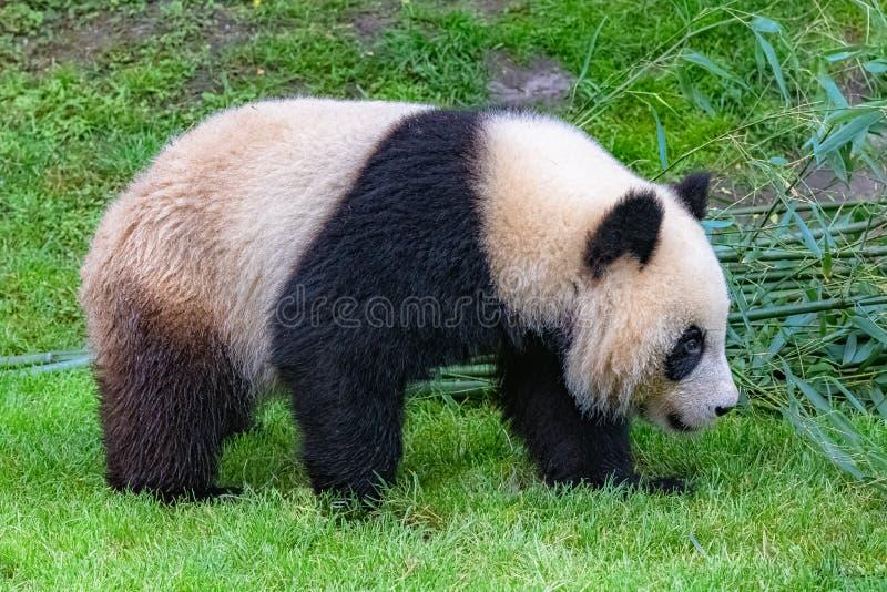 Гигантская панда, молодое животное стоковая фотография rf