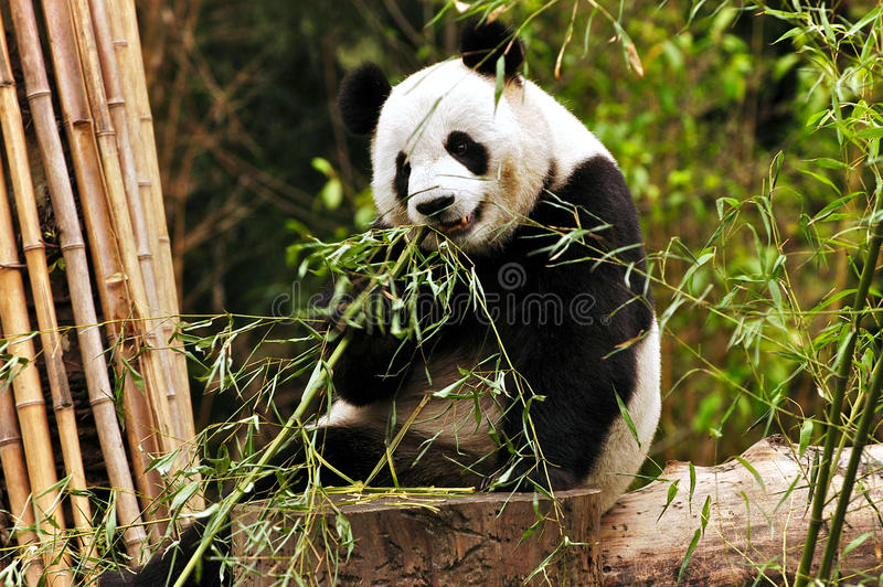 гигантская панда стоковое изображение rf